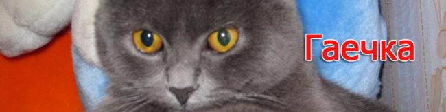 Кошка британской породы ГАЕЧКА - возраст на фото 8 месяцев