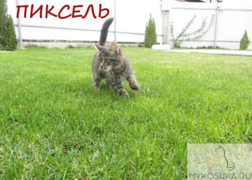 Котёнок полукровка сибирской породы играет на газоне