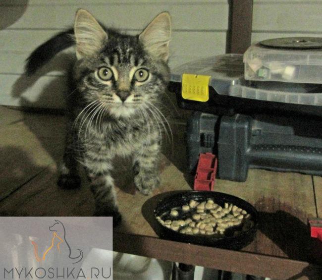 Наш домашний уличный котёнок у миски с едой сухой корм разбавлен водой