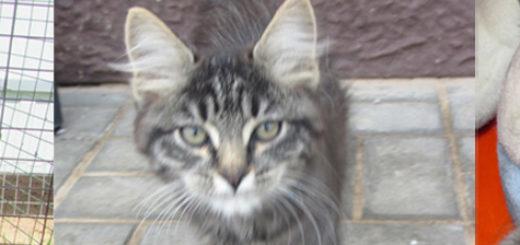 Котёнок, британская кошка и немецкая овчарка